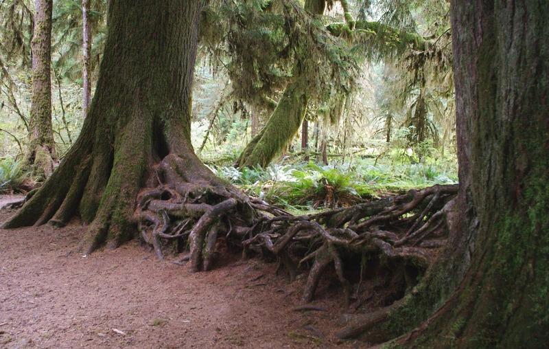 Drake_redwoods2